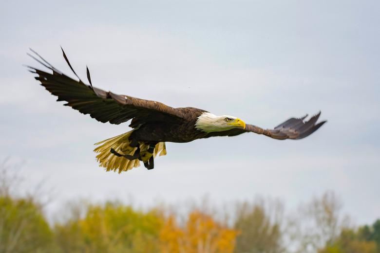 Bald-Eagle - Zo indrukwekkend wanneer zo een gigantische roofvogel overvliegt