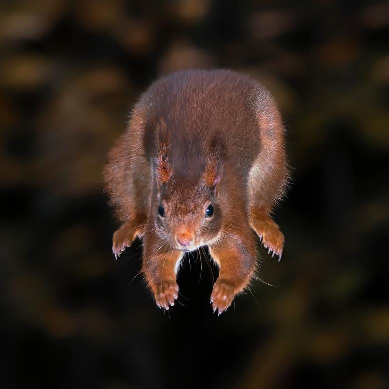 The Jump - De eekhoorn maakt zich na de afsprong klaar voor de landing.<br /> <br /> Bedankt voor de leuke en bemoedigende reacties en stemmen op mi