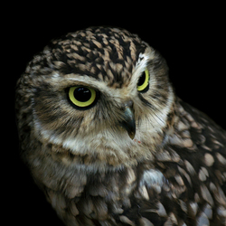 Burrowing Owl Konijnenuil