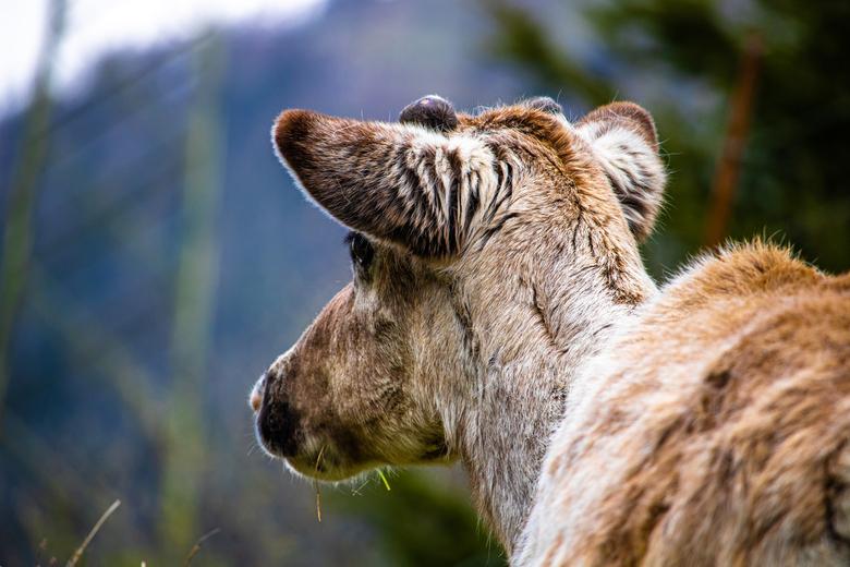 Rendier in de zwitserse bergen - Rendier in Zwitserland met het begin van een gewei