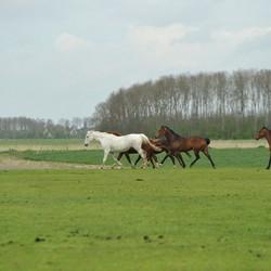 Mooie paarden in de wei I