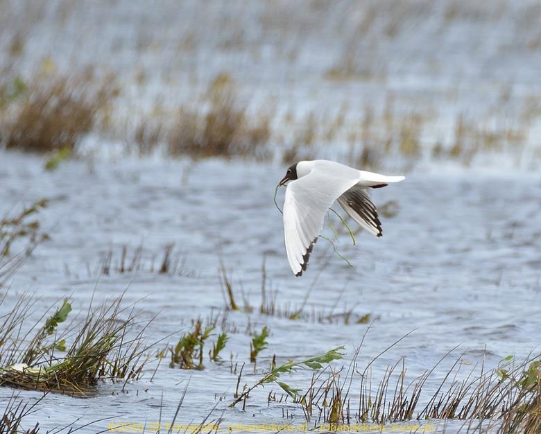 Kokmeeuw bouwt nest in Natuurgebied Dannenmeer - Kokmeeuw bouwt nest op het Dannenmeer.<br /> <br /> Het Dannemeer is een meer en veenmoeras in aanl