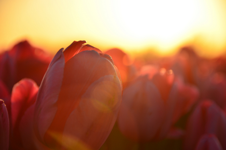 Tulips at sunset - Red tulips at sunset