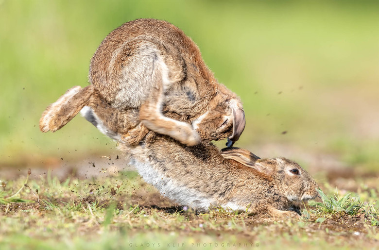 Wild konijn..  - Bijna een uur was ik getuige van wilde spelletjes van deze twee konijnen..