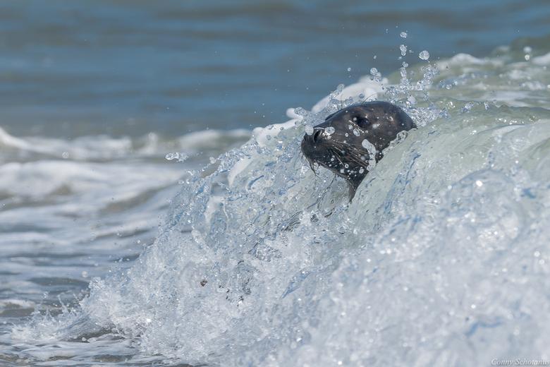 Zeehond - Er lagen vele zeehonden op het strand, maar die lagen allemaal te luieren. Net zolang gewacht totdat ik er één in de branding zag en dan op
