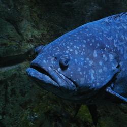 Gaint grouper