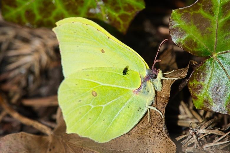 Vlindertijd! - Ook weer gewoon in de achtertuin. De eerste citroenvlinders van het jaar!! De citroenvlinder is de eerste verse vlinder die je ziet van