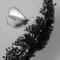 BWutterfly