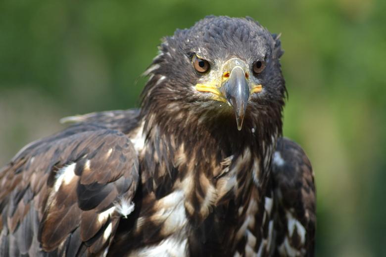 Zeearend - Deze foto heb ik net als mijn vorige vogelfoto's tijdens een roofvogelshow gemaakt.