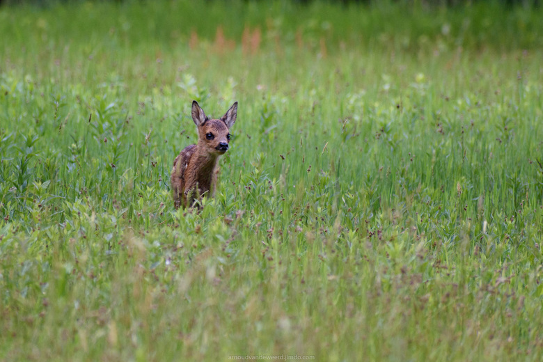 Spring! - Wat hou ik van de lente. De tijd van fris groen blad, mooie bloemen en jonge dieren. Gisteravond had ik het geluk dit kleine en schattige re