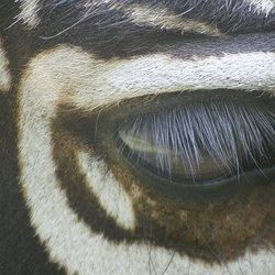 Zebra-oog