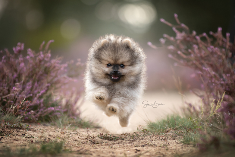 Pomeranian in actie -