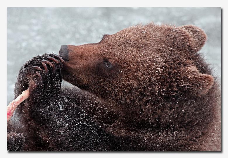 Spelen met een dwarsfluitje - een bruine beer spelend met een botje en lijkt te spelen op een dwarsfluitje<br /> <br /> effies in het groot bekijken