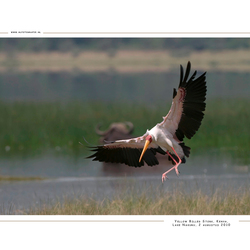 Yellow Billed Stork, Kenia