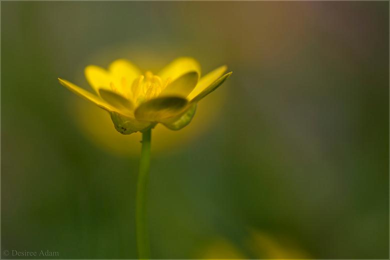 Holy Speenkruid - Het mooie aureooltje om het bloemetje van het speenkruid heen is een bloemetje erachter.