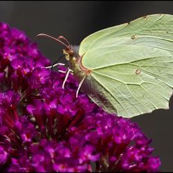 Citroenvlinder op Vlinderstruik