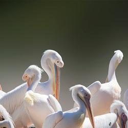 Pelikanenfamilie