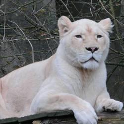 Witte leeuwin in Ouwehands Dierenpark