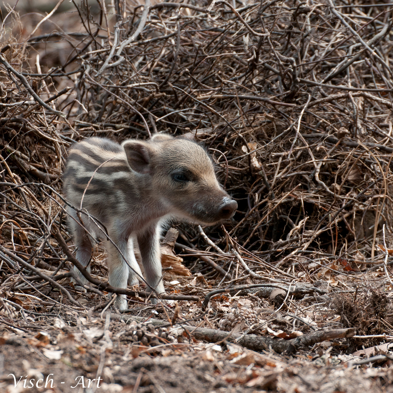 Welkom op de wereld klein gestreept speklapje. ;-) - Zes kleine varkentjes zijn er in het Aardhuis (veluwe) geboren vorige week. Een beetje vroeg voor