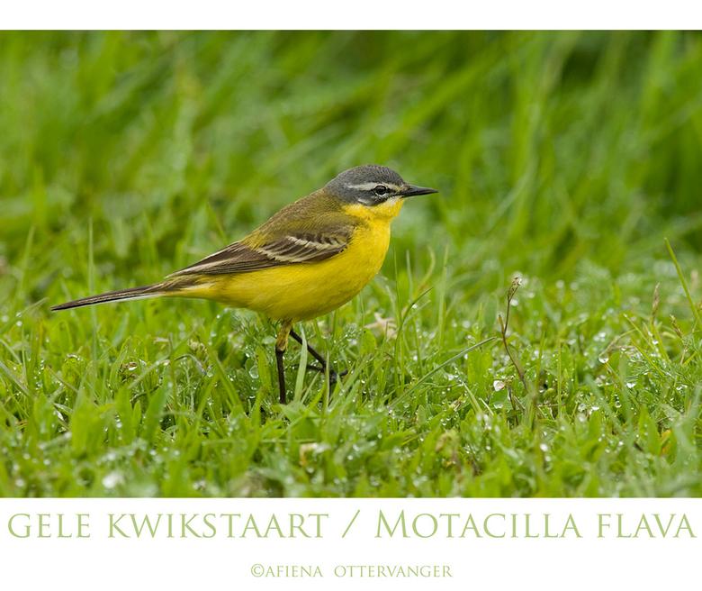 gele kwikstaart - Een vogeltje dat je vaak kan zien, in het gras langs de berm of op een paaltje. Maar wat een druk bewegelijk en schuw beestje! Het k