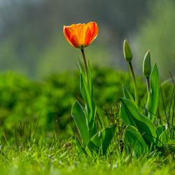 Tulp in het gras