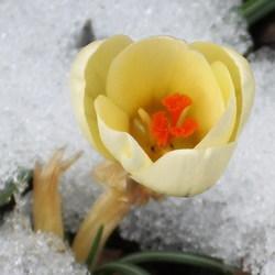 Krokus in de sneeuw