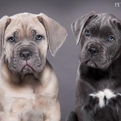 Cane Corso Puppy's