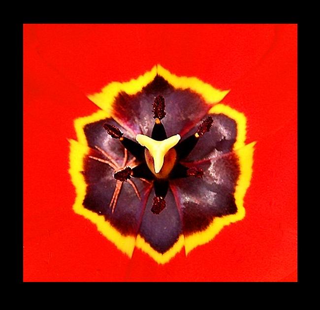 """spin in tulp !.. - spinnetje zat precies met zijn lijfje <br /> onder een meeldraadje, waardoor<br /> het meeldraadje zijn lijfje leek.<img  src=""""/i"""