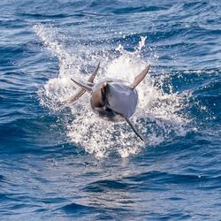 White striped dolphin