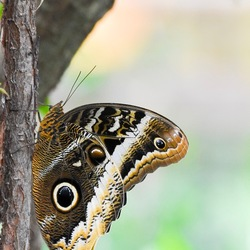 Mooie Uilvlinder