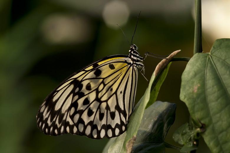 Idea leuconoe - Ook dit is een mooie grote vlinder die ook wel Papiervlinder gemoend wordt.