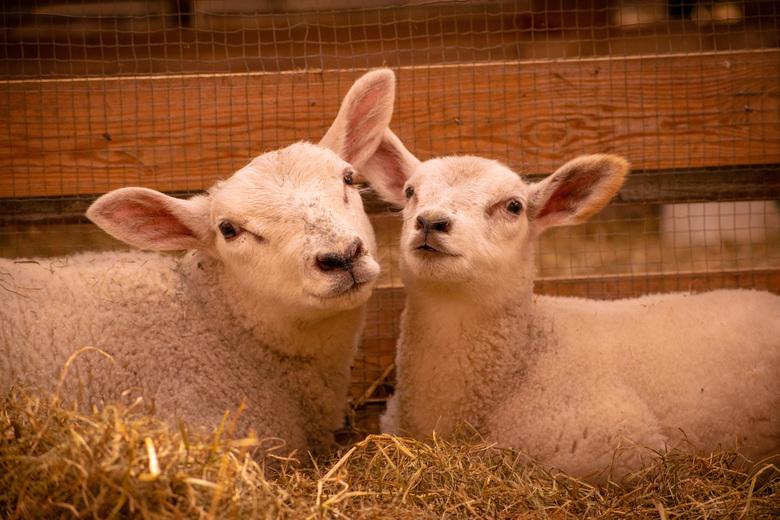 Knuffelende lammetjes - Twee knuffelende schapen op een boerderij in Acqouy