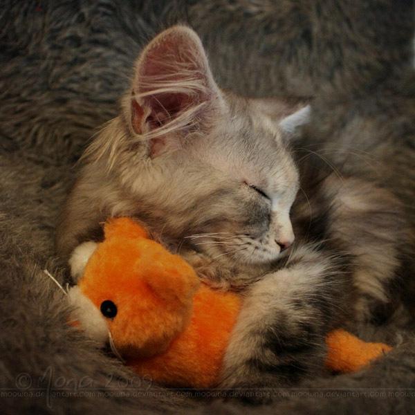 Sleeping beauty - Onze Maine Coon kitten Narnia heerlijk in slaap met een van haar knuffels. Deze foto is gemaakt toen ze net een paar dagen bij ons w