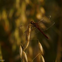 Rode heidelibel