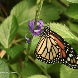 Monarchvlinder....