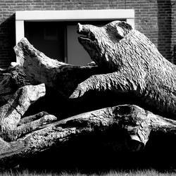 jachthond versus zwijn