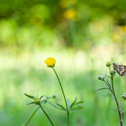 veldparelmoervlinder in habitat
