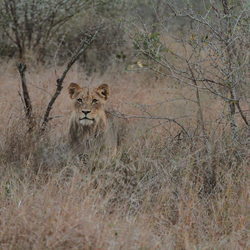 leeuw-juveniel