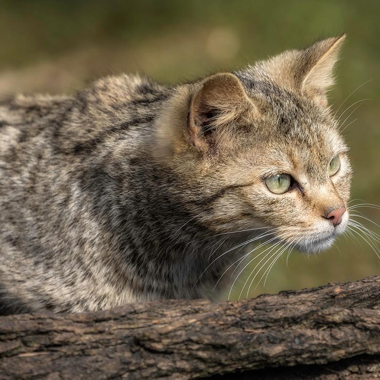 aandachtig - wilde kat (met volle aandacht)