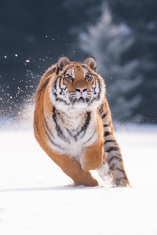 Tijger in de sneeuw - Siberische Tijger rennend en gefocust in de sneeuw.