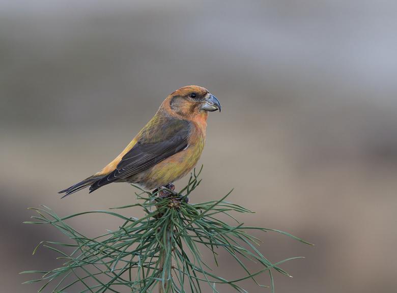 Kruisbek - Opname van een gewone Kruisbek op een tak van een grove den. Dit mannetje heeft fraaie pastelkleuren wat niet vaak te zien is.<br /> <br /