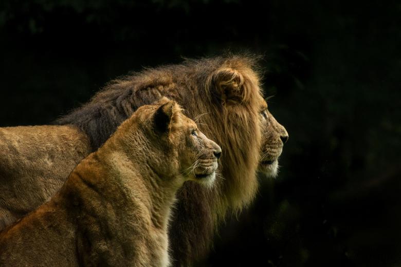 Man en vrouw - Een fotoshoot met de leeuw en leeuwin....