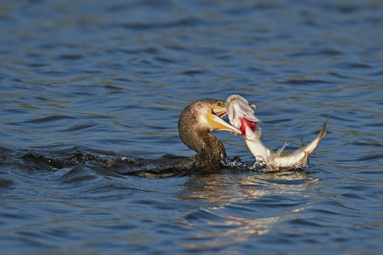 Predator vs predator 1 - Deze Aalscholver was net neergestreken op een polderwatering waar ik met de auto stilstond. Aalscholver begon gelijk te jagen