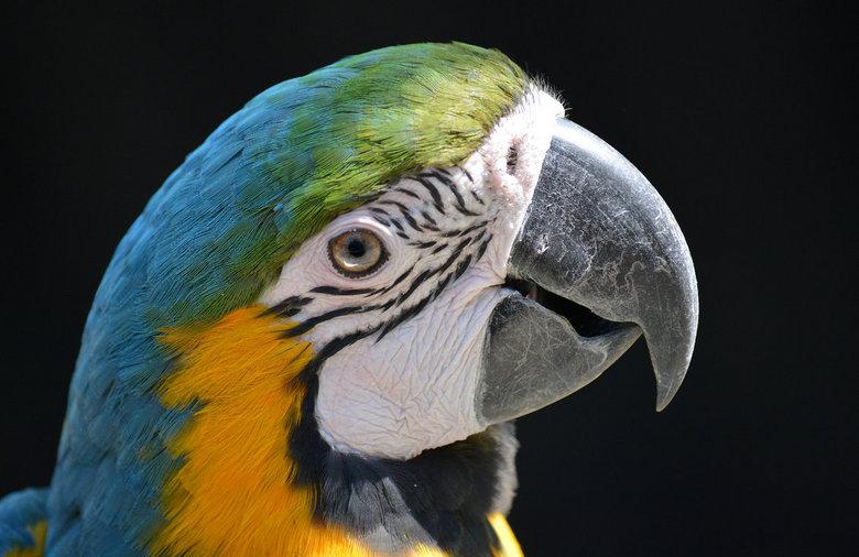 Ara close. - Close up van een Ara in dierentuin  De Oliemeulen.