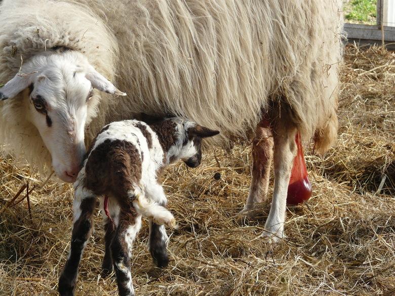 net geboren lammetje met nageboorte bij de ooi - foto van lammetje van De Westlandse Schaapskudde. Vandaag geboren en een snelle kilk leverde deze pla
