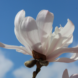 Sunbathing magnolia