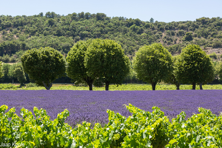 Wijnranken en lavendel