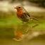 robin in bad