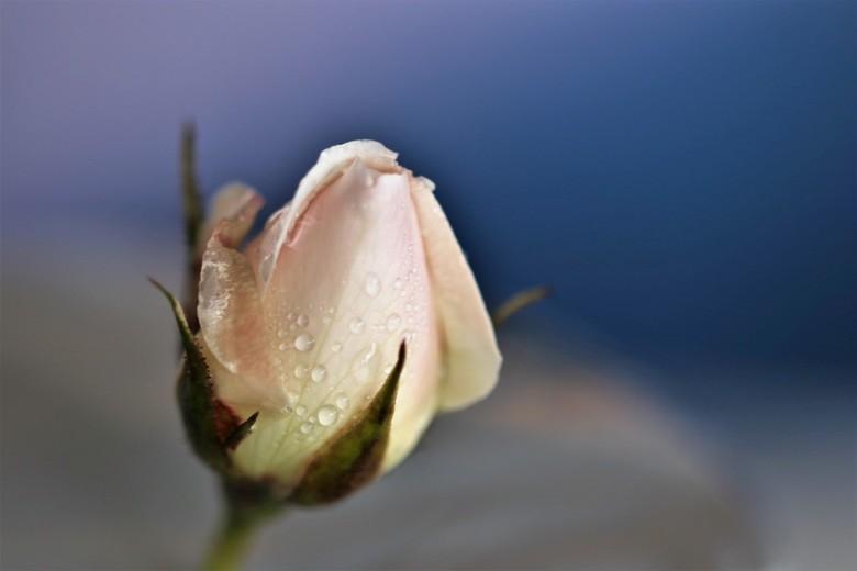 roze knop - roze knop in de winter met regen druppels <br /> 22-1-2020