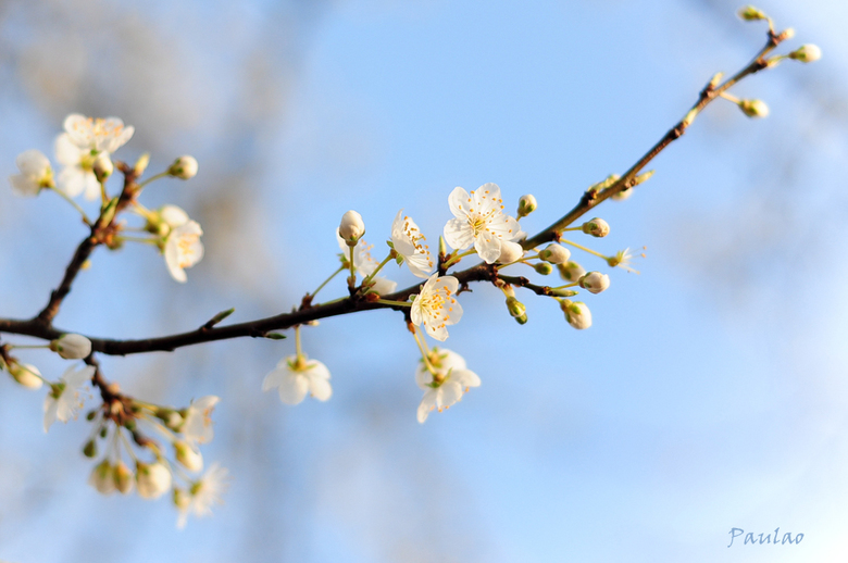 lentebloesem - bloesemtak tegen de blauwe lucht.